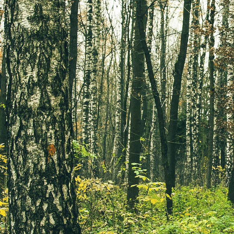 Detail breza